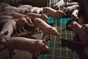Ngăn chặn buôn lậu, vận chuyển, kinh doanh lợn không rõ nguồn gốc