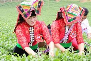 Chè Shan tuyết Phổng Lái-đặc sản núi rừng ướp mây phủ quanh năm