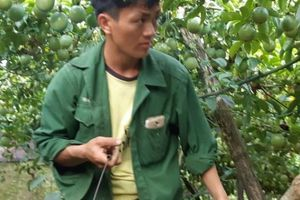 Chanh leo Mộc Châu chi chít quả, ăn ngay tại vườn vì quá sạch