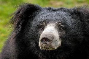 Chuyện rùng rợn về gấu ăn thịt người vùng Mysore