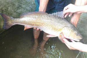 Ngư dân Nghệ An câu được cá lớn, nghi là cá sủ vàng quý hiếm