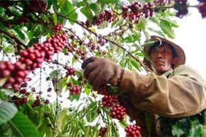 Ngày 9/11, giá cà phê giảm nhẹ