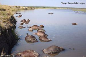 Ảnh, video: Bị đàn sư tử truy sát, 400 con bò rừng chết đuối giữa sông