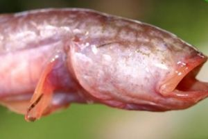 Loài cá bống hiền lành ở miền Tây có cái đầu và hàm răng ghê sợ