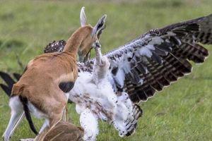 Đại bàng bắt con, linh dương mẹ quyết chiến trong bất lực