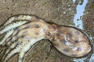 Hoang mang trước thông tin xuất hiện loài mực cực độc ở Phú Quốc