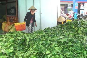 Vụ thu mua trái, lá nhàu ở Cà Mau: Chưa phát hiện bất thường