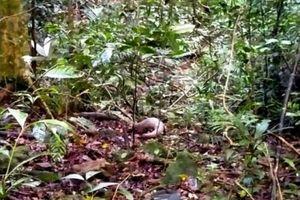 Thả một cá thể tê tê Java về môi trường tự nhiên