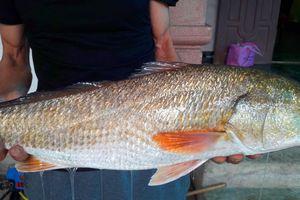 Cá vàng óng nặng 5kg, nghi cá sủ vàng tiền tỷ mắc câu thợ câu xứ Nghệ