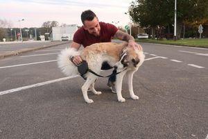 Con chó vượt hơn 4.800 km để gặp lại ân nhân cứu mạng
