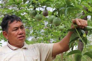 Làm vườn treo 'ngọc xanh' nơi heo hút, lão nông người Thái sống khỏe