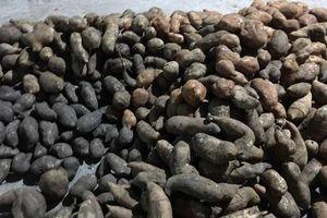 Sâm khoai xấu xí, giá 'bèo' gây sốt ở Hà Nội