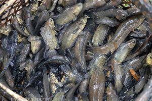 Miền Tây mùa lũ rút: Theo cá ra sông, mỗi ngày kiếm vài chục ký