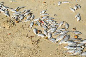Tin mới nhất vụ việc 2 tấn cá chết trắng trôi dạt ở biển Đà Nẵng