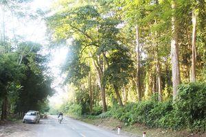 Chiêm ngưỡng rừng săng lẻ 'bảo bối' của miền tây xứ Nghệ
