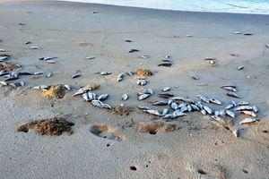 Tại sao cá chết hàng loạt dọc bờ biển Đà Nẵng?