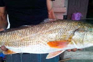 Ngư dân Nghệ An câu được cá nghi sủ vàng gần 5kg