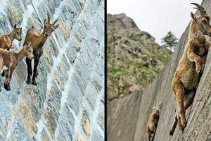 22 bức ảnh chứng minh loài dê có thể leo lên bất cứ chỗ nào