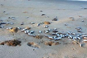 Nước biển không ô nhiễm, cá chết hàng loạt dạt bờ biển Đà Nẵng