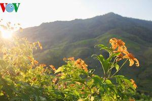 Vàng rực sắc hoa dã quỳ trên đại ngàn Tây Nguyên