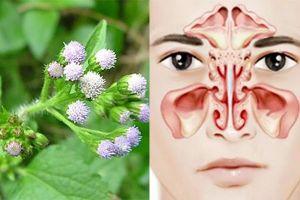 Bài thuốc chữa viêm xoang bằng hoa xuyến chi