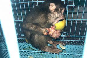 Giải cứu khỉ con bị hoại tử tay ở Thừa Thiên - Huế