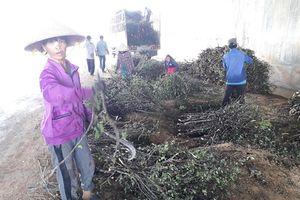 Mừng hay lo tình trạng ồ ạt thu mua cây dó liệt bán sang Trung Quốc?