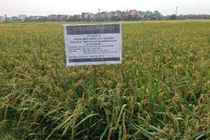 Giống lúa nếp thơm NT202