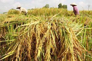 Gạo thơm Việt Nam chuẩn bị 'hất cẳng' gạo thơm ngoại