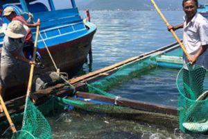 Vay vốn ngân hàng nuôi 20 ô cá bớp, chưa hết năm đã bỏ túi gần 1 tỷ