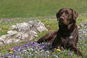 Khứu giác chó có thể 'chẩn đoán' bệnh sốt rét?