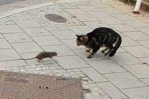 Chuột cống 'lật kèo', dọa đuổi mèo nhà chạy 'tóe khói'