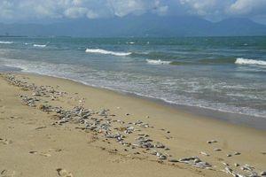 Cá chết hàng loạt, trôi dạt vào bãi biển Đà Nẵng: Có thể do nổ mìn?