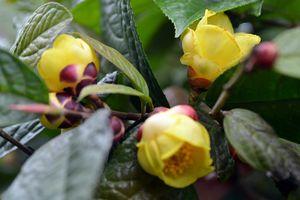 Khám phá 'nữ hoàng của các loại trà' quý hiếm ở Việt Nam