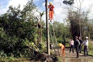 Thừa Thiên – Huế: Trâu chết vì rò điện lưới