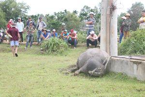 Trụ điện bị rò rỉ, giật chết 2 con trâu ở Quảng Nam
