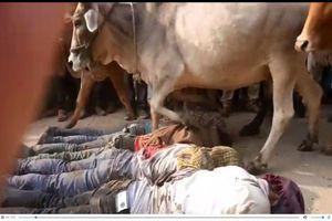 Kỳ quái: Hàng chục người đàn ông nằm rạp cho đàn bò giẫm lên người