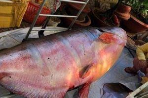 Những 'thủy quái khổng lồ' từng bị bắt ở sông Mê Kông đưa về Việt Nam