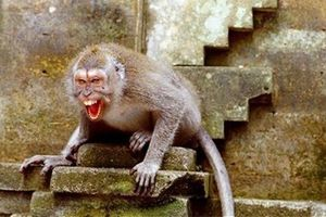 Người phụ nữ ở Thanh Hóa bị khỉ nuôi cắn trọng thương