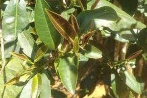 Trung Quốc phát hiện một loài cây có thể thay thế chè