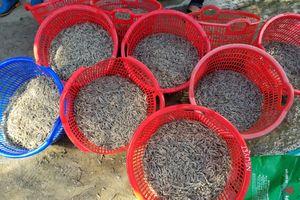 Gần 1 triệu con tôm chết bất thường ở Quảng Nam