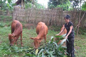 'Vay bò trả bê' giúp nông dân Tuyên Quang thoát nghèo