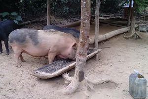 Nhiễm bệnh từ lợn thả rông