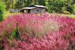 Chiêm ngưỡng cánh đồng cỏ hồng 'đẹp quên sầu' tại Đà Lạt