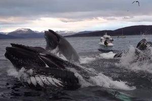 Cá voi lưng gù dàn trận 'lưới bong bóng', tóm gọn bầy cá nhỏ