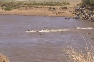 Clip: Cố vượt sông, ngựa vằn 'chết thảm' dưới hàm cá sấu