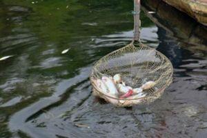 Đã xác định được nguyên nhân cá bớp chết hàng loạt ở Đầm Môn