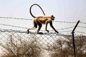 Ấn Độ: Em bé 12 ngày tuổi tử vong do bị khỉ tấn công