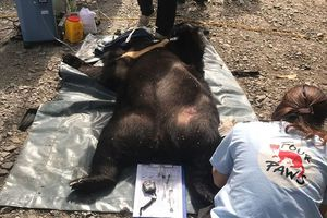 Người dân tự nguyện giao nộp cá thể gấu ngựa nặng 139kg