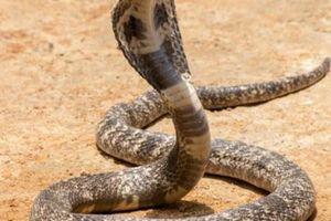 Lo sợ khi rắn hổ mang cực độc chui vào ô tô, tìm mãi không thấy